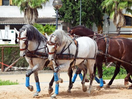 carriage  horses in Andalusia,  Spain photo