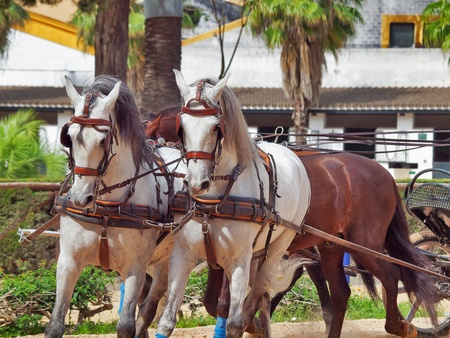 warmblood: beautiful breed carriage  horses in Andalusia,  Spain