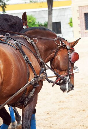 beautiful breed bay carriage  horses in Andalusia,  Spain photo