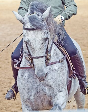 portait of spanish grey beautiful  horse photo