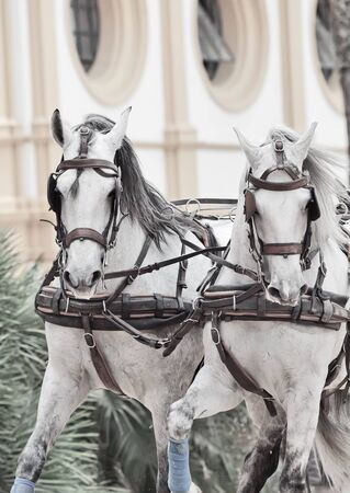 potrait of wonderful carriage white horses in movement in Jeres,  Spain photo