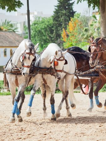 beautiful breed carriage  horses in Andalusia,  Spain photo