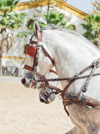 portrait of beautiful breed carriage  horses in Andalusia,  Spain photo