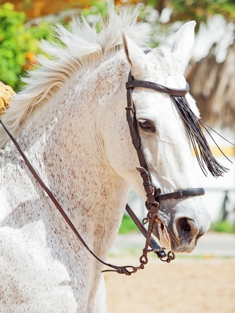 portrait of Andalusian white horse in movement sunny day. Spain photo