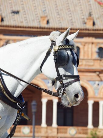 portrait of carriage white horse in Seville  Plaza de Espana ,  Spain photo