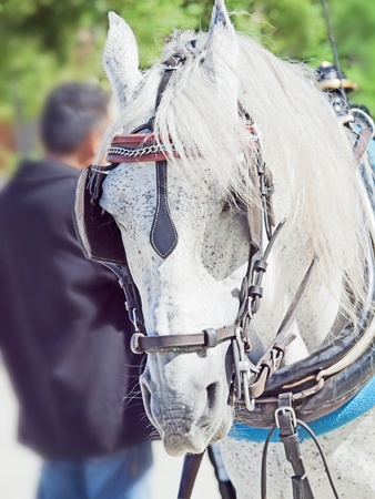 portrait of nice carriage white horse, Andalusia, Spain photo