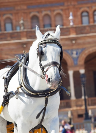 portrait of carriage white horse in movement,Seville  Plaza de Espana ,  Spain photo