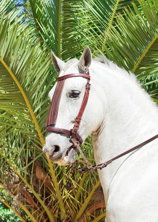 portrait of Andalusian white stallion at palm background photo