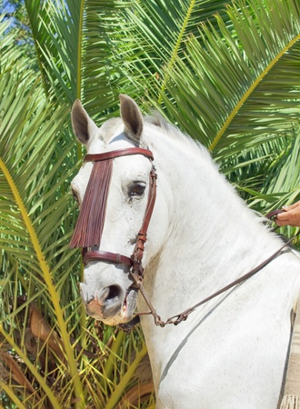 portrait of beautiful Andalusian white stallion at palm background photo