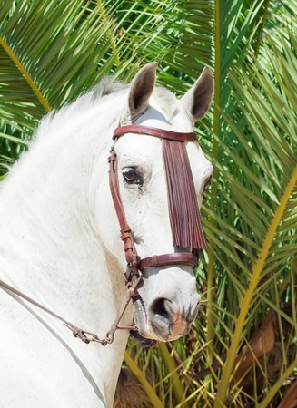 portrait of wonderful  Andalusian snow-white stallion at palm background photo