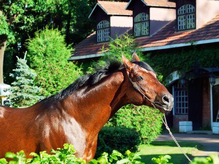 portrait of amazing breed stallion   sunny evening Stock Photo - 14544999