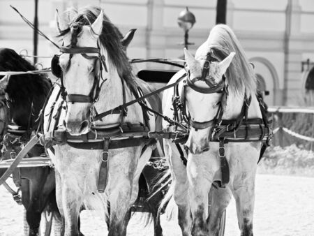 beautiful breed carriage  horses in Andalusia,  Spain. cloudy day
