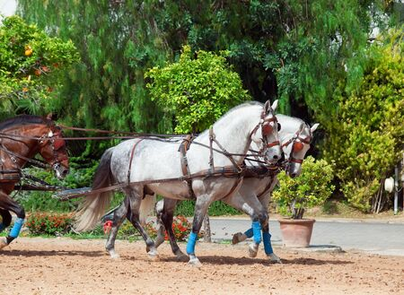 beautiful breed carriage  horses in Andalusia,  Spain.sunny day photo