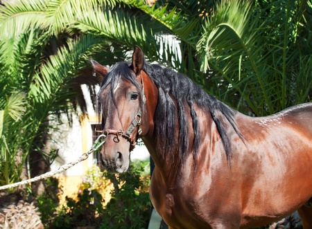 portrait of purebred Andalusian bay stallion. sunny day. Spain photo