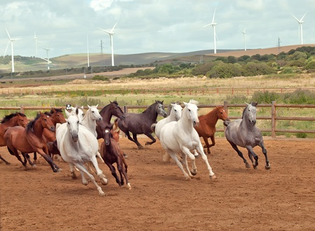 Running spanish horses herd. Andalusia. Spain photo