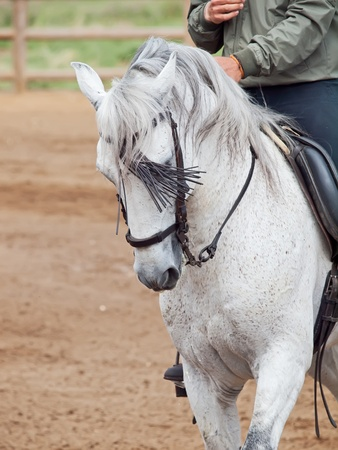 portrait of beautiful Andalisian grey  horse in move with rider photo