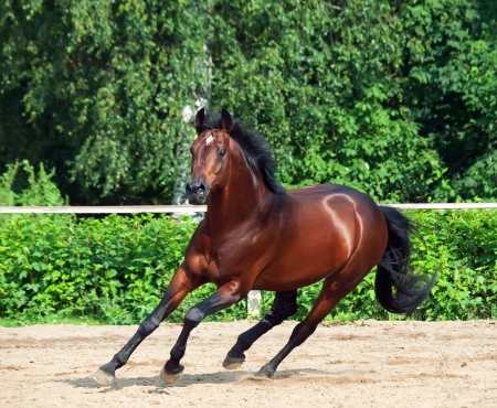 galloping bay sportive breed  horse in open manege