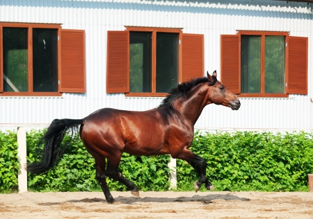 warmblood: galloping bay sportive breed  horse in open manege