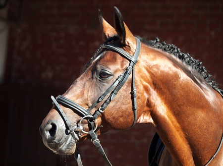 portrait of beautiful sportive horse outdoor sunny morning