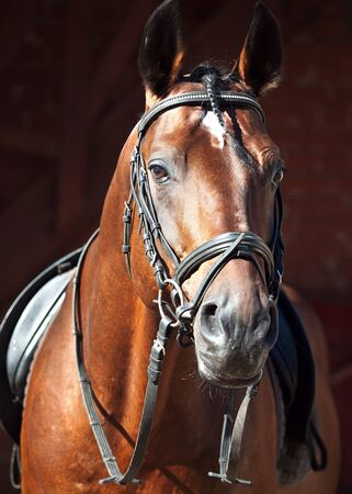 portrait of beautiful dressage horse  outdoor sunny morning photo