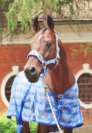 warmblood:  portrait of beautiful sportive horse  dressed in blue blanket and halter  Stock Photo