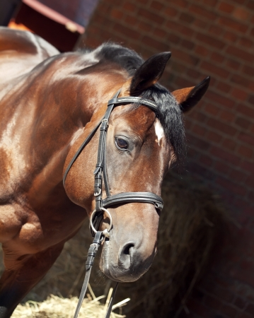 warmblood: portrait of beautiful sportive horse at stable background