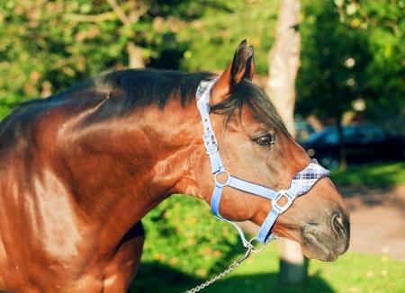 portrait of wonderful breed Trakehner stallion Stock Photo - 15136462