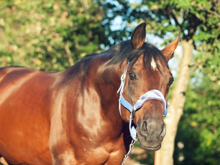 gelding: portrait of beautiful horse in blue halter . sunny evening Stock Photo