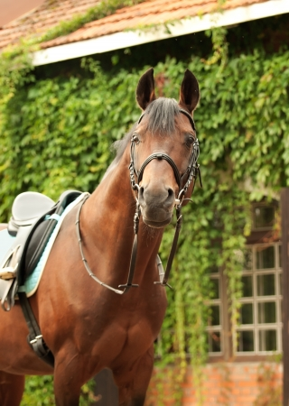 gelding: wonderful breed dressage bay stallion front stable Stock Photo