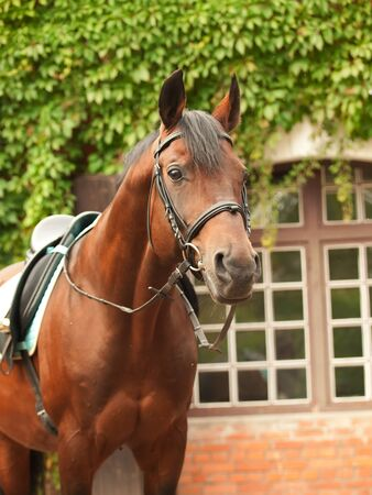 wonderful breed dressage bay stallion front stable Stock Photo - 15136471
