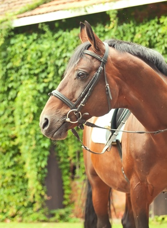 beautiful breed dressage bay stallion posing front stable Stock Photo - 15136472