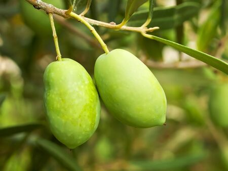 Olive fruit tree photo