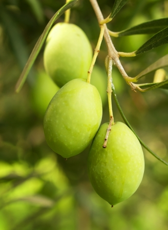 Olive fruit tree