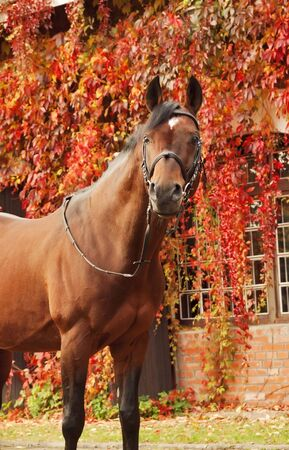 beautiful bay sportive stallion autumn  portrait  Stock Photo - 15815623
