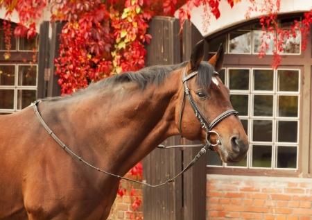 beautiful bay sportive stallion autumn  portrait Stock Photo - 15815621