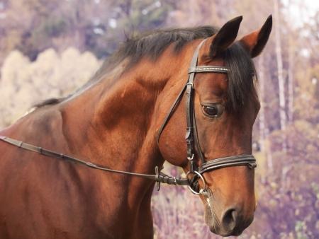 beautiful bay sportive stallion autumn  portrait Stock Photo - 15865160