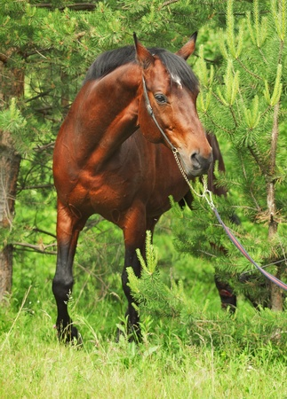 warmblood: Beautiful Trakehner stallion in pine forest cloudy day Stock Photo