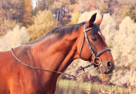 beautiful bay sportive stallion autumn  portrait photo
