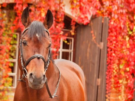 warmblood: beautiful bay sportive horse autumn  portrait Stock Photo
