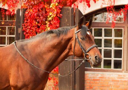 beautiful bay sportive stallion autumn  portrait Stock Photo - 15865171