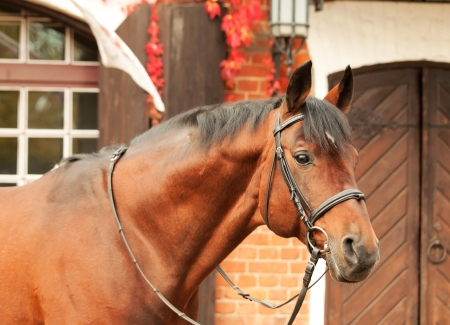 gelding: beautiful bay sportive stallion autumn  portrait near stable