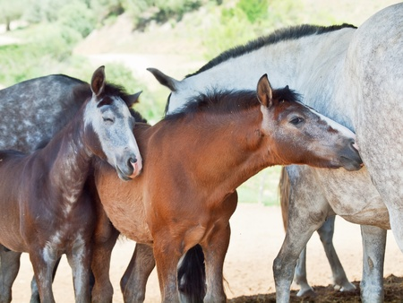 warmblood: little Andalusian foals with moms in paddock, hot day . Spain
