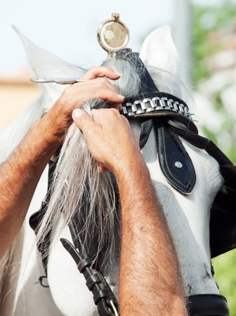 bangs: Rider plait bangs of a white carriage horse. Andalusia, Spain