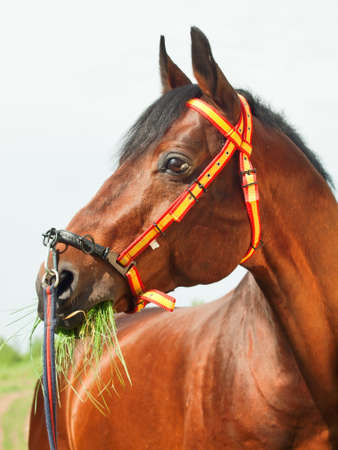 halter: amazing breed stallion in spainish halter sunny day Stock Photo
