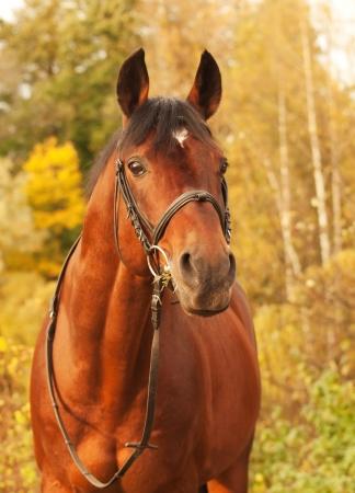 beautiful bay sportive stallion autumn  portrait Stock Photo - 16819330