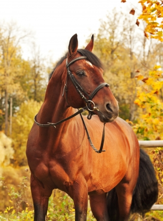 beautiful brown sportive stallion autumn  portrait photo