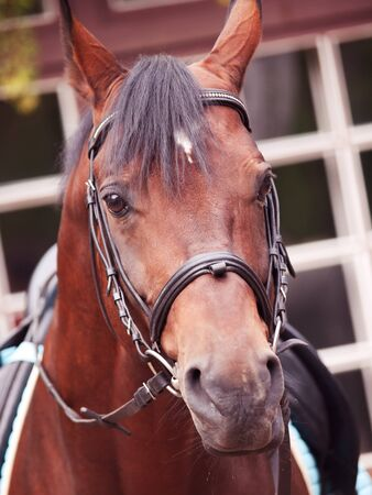 portrait of german sportive horse closeup. cloudy day Stock Photo - 16819441