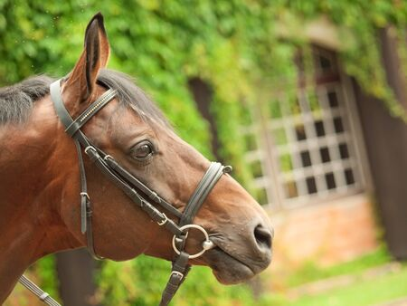 portrait of german sportive horse closeup. cloudy day Stock Photo - 16819374