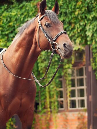 beautiful breed dressage bay stallion posing front stable Stock Photo - 16856141