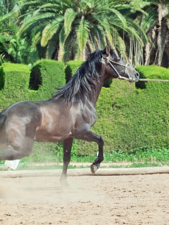 amazing Andalusian grey young  stallion in motion . Spain photo